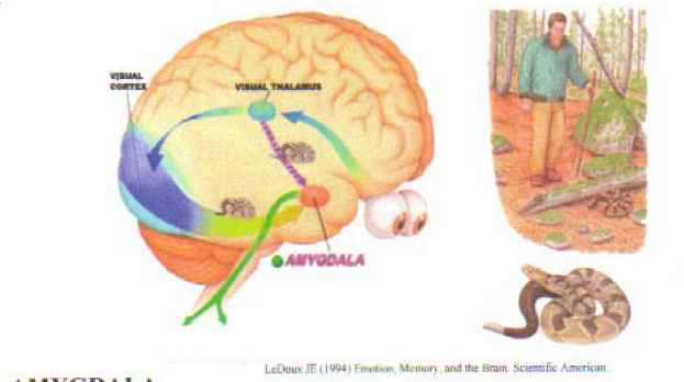 Images The Inside The Lower Brain